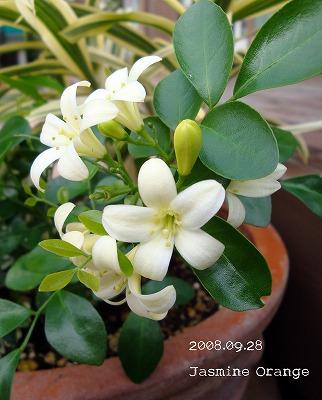 つるつるの葉っぱと白い花
