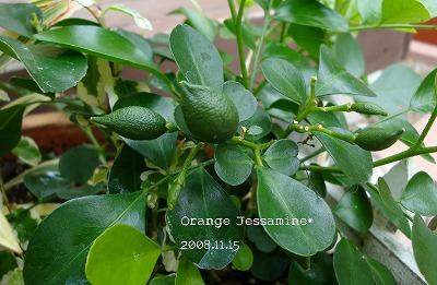 オレンジジャスミンの実♪