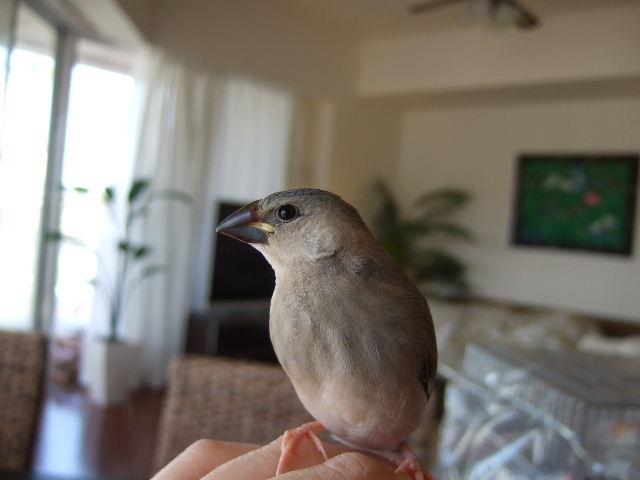 2009_0315文鳥0056