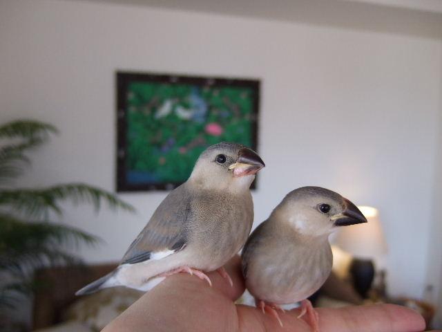 2009_0315文鳥0068