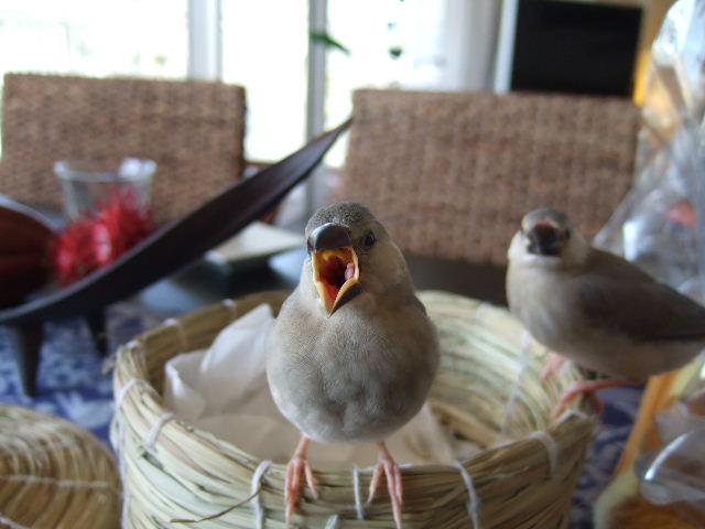 2009_0315文鳥0073