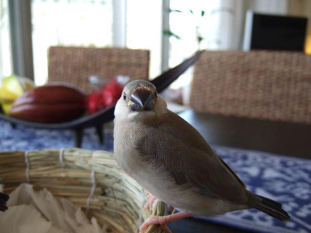 2009_0315文鳥0077