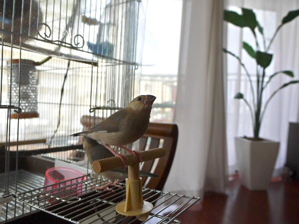 2009_0329lumix文鳥0031
