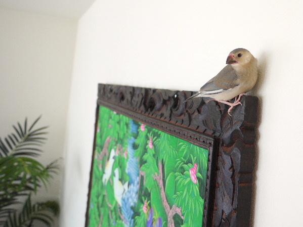 2009_0329lumix文鳥0036