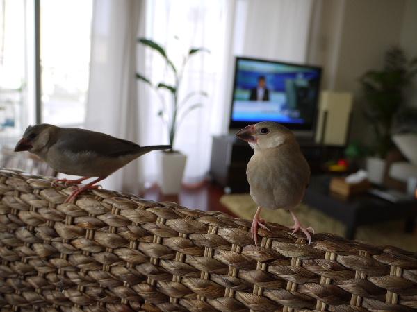2009_0329lumix文鳥0047