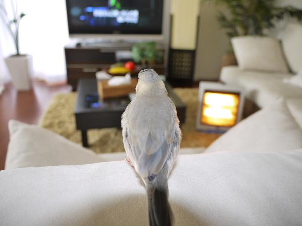 2009_0329lumix文鳥0040