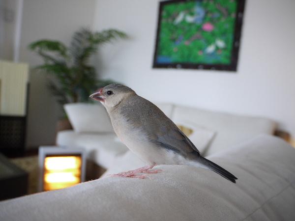 2009_0329lumix文鳥0043