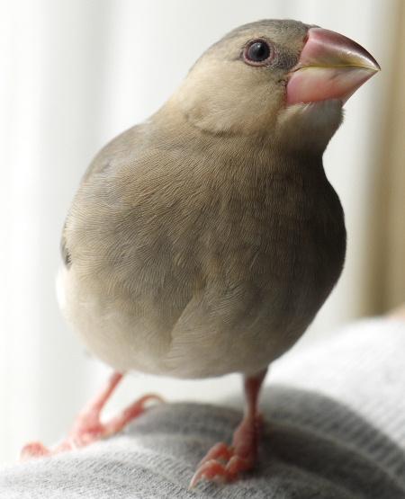 2009_0403lumix文鳥016
