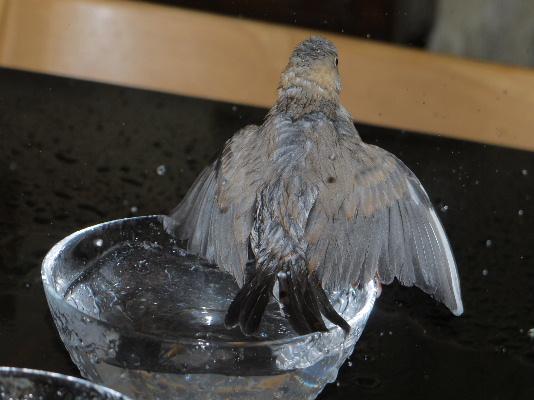 2009_0403lumix文鳥0014