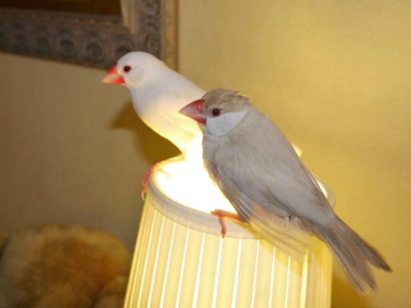 2009_0403lumix文鳥018