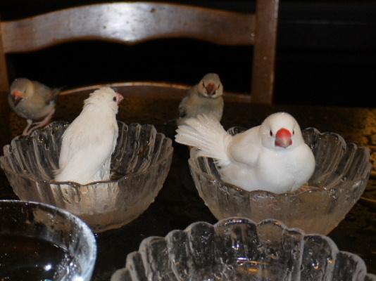 2009_0330lumix文鳥0173