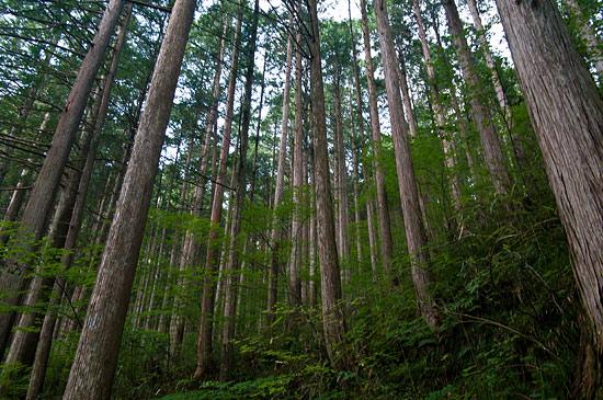 阿寺渓谷ヒノキ美林