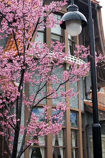高岳桜-2