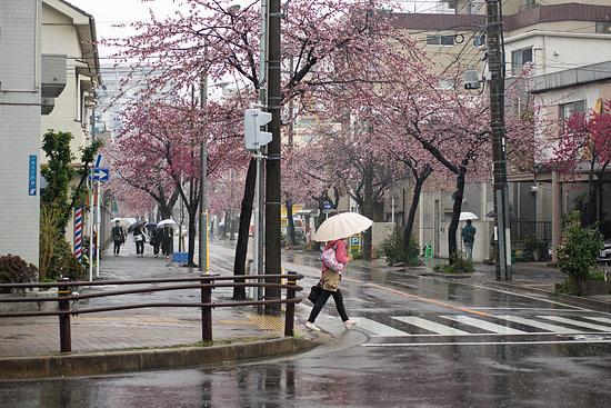 高岳桜-3