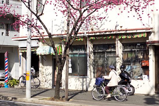 名城桜-1