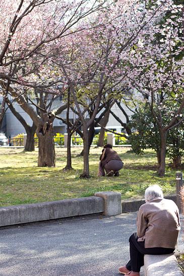名城桜-7