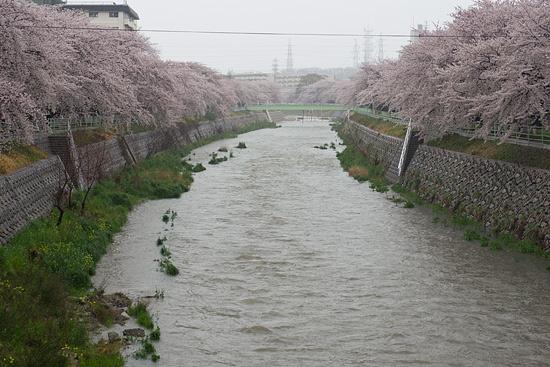 桜便り13-11