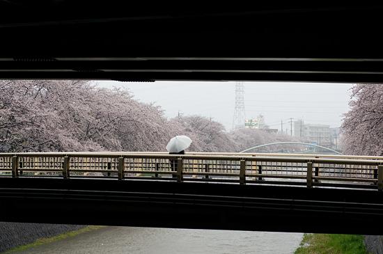 桜便り13-13