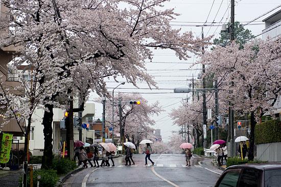 桜便り13-2