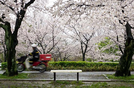桜便り13-5