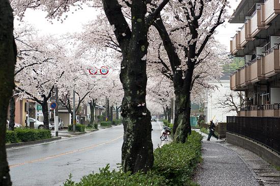 桜便り13-6