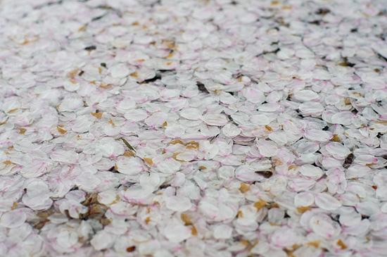 桜便り13-8