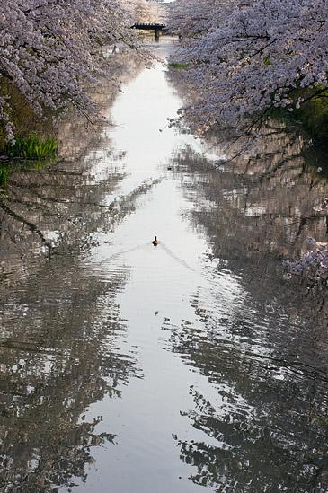 桜便り15-10