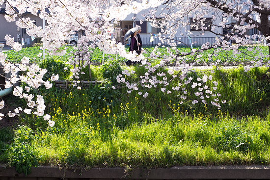 桜便り15-3