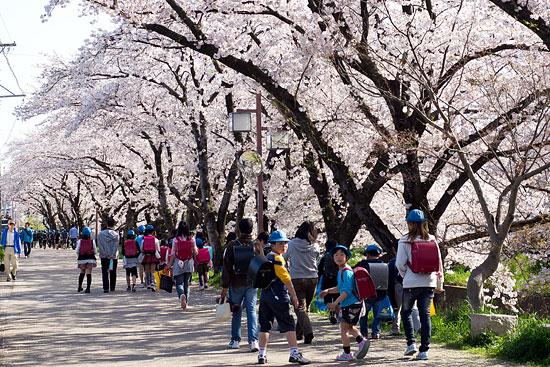 桜便り15-6