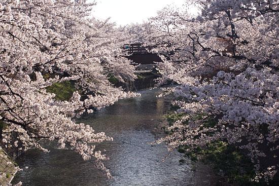 桜便り15-7