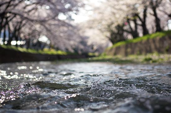 桜便り15-9