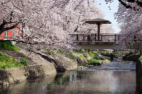 桜便り16-1