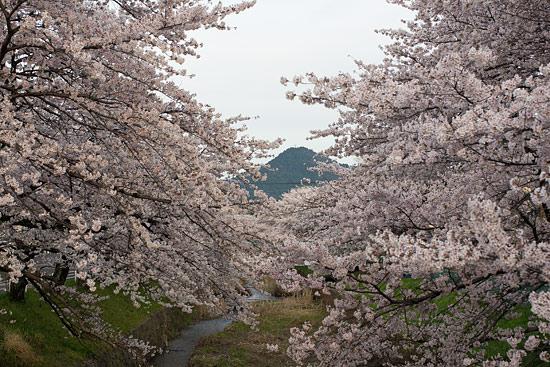 桜便り16-12