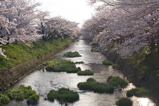 桜便り16-6