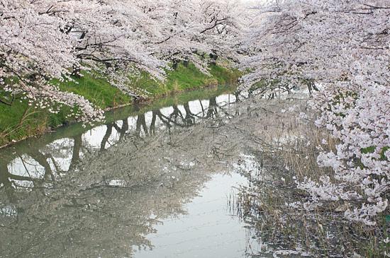 桜便り16-8