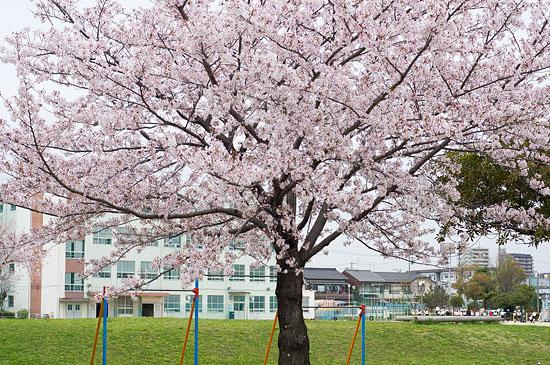 桜便り17-1