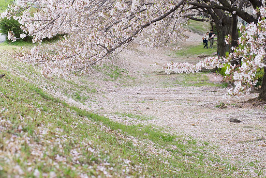 桜便り17-6