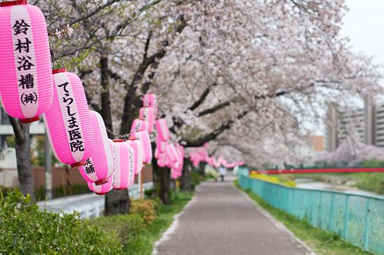 桜便り17-7