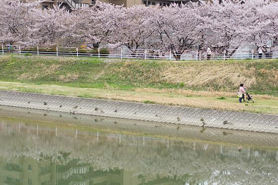桜便り17-8