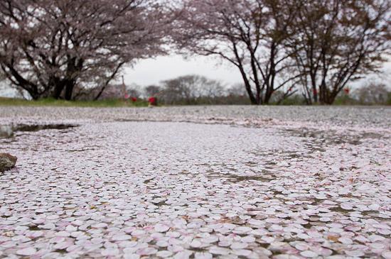 桜便り19-1