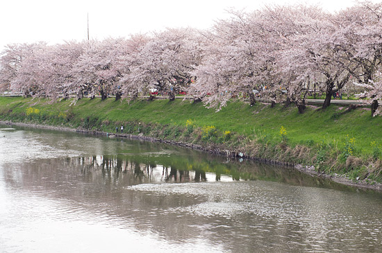 桜便り19-10