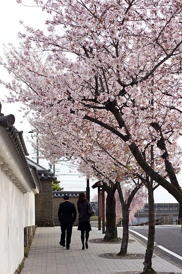 桜便り19-13