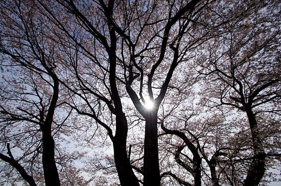 桜便り19-7
