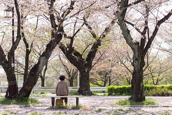 桜便り21-1
