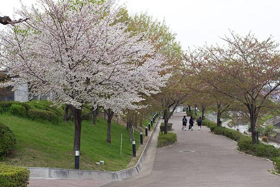 桜便り21-11