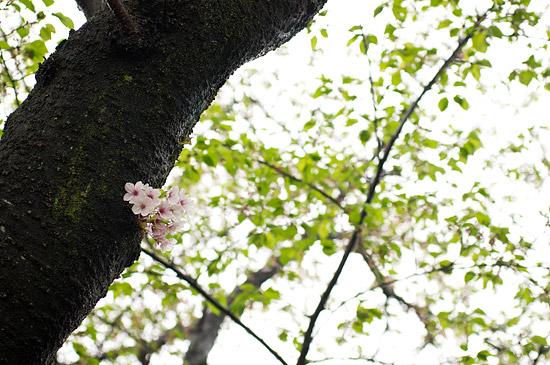 桜便り21-14