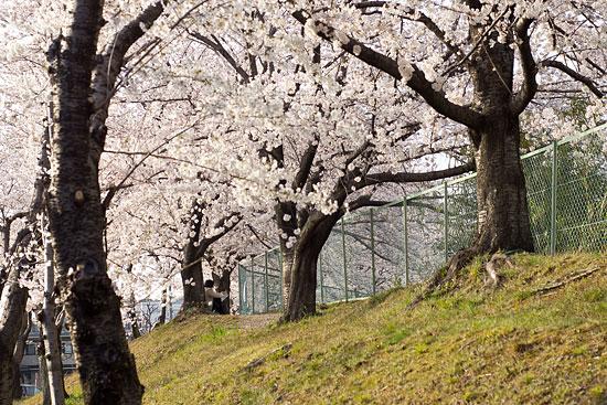 桜便り21-3