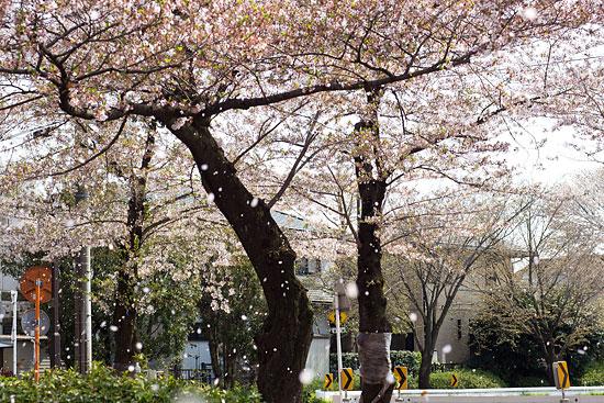 桜便り21-9