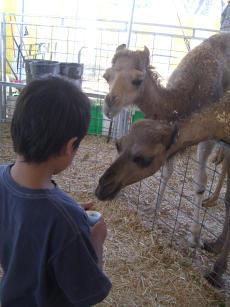 Omar feeding Camels