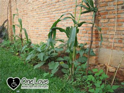 ルワンダ畑2